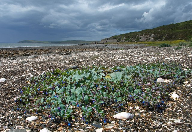 Oysterplant on the shores of Luce Bay